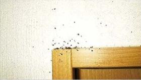 トコジラミの営巣場所(血糞跡)