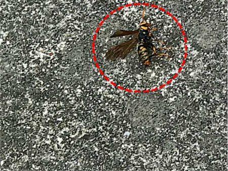 アシナガバチの駆除を行いました。