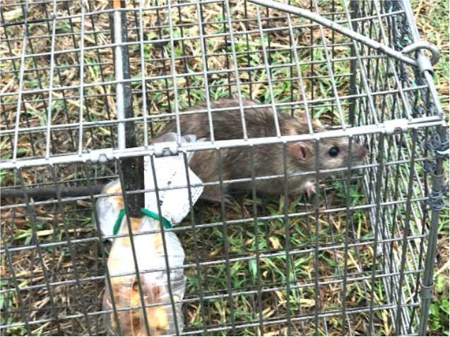 捕獲カゴによる防鼠捕獲施工
