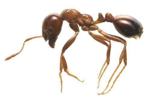特定外来生物ヒアリに関する情報(環境省)