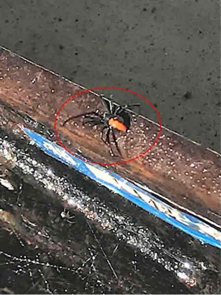 セアカゴケグモの生息を確認しました。