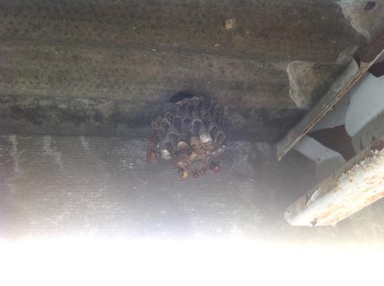 アシナガバチの巣とアシナガバチ