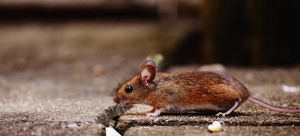 【神戸】ネズミ駆除を依頼した方が良いケースと被害を防ぐ対策!衛生管理をサポートサムネイル
